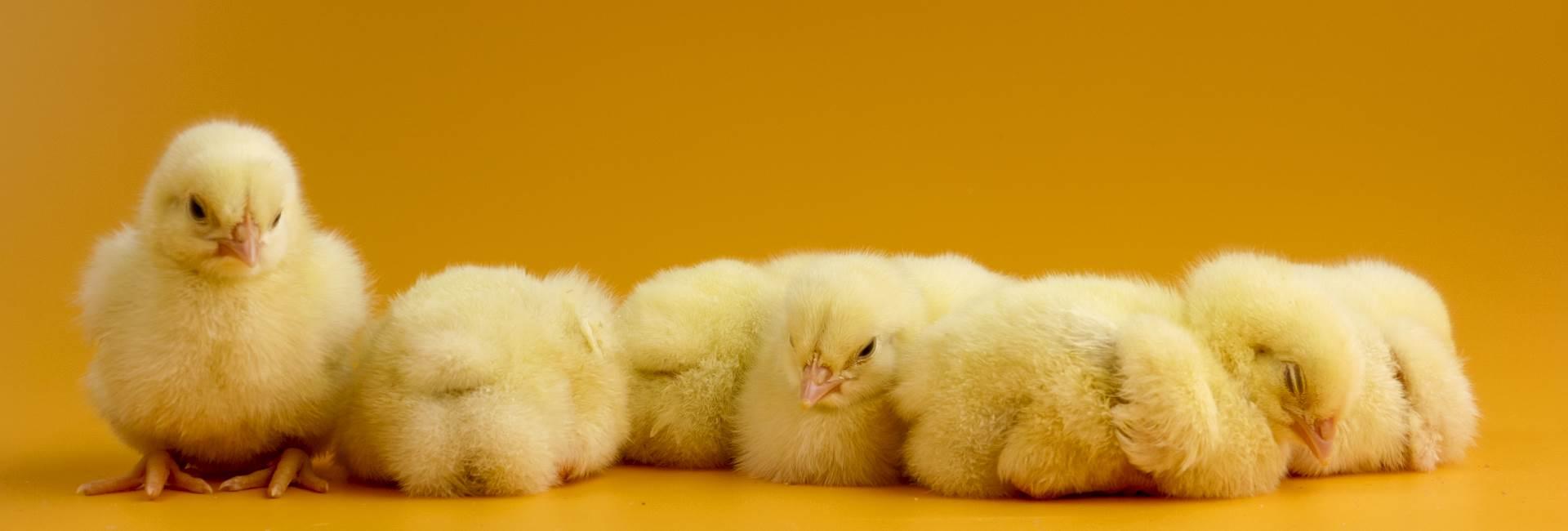 polli-fatrohellas